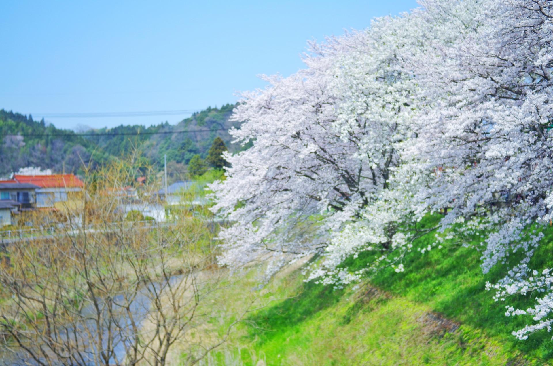 雲南市の桜の名所、斐伊川堤防桜並木